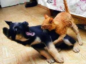 Аццкий рыжий кот порвал Тузика как грелку
